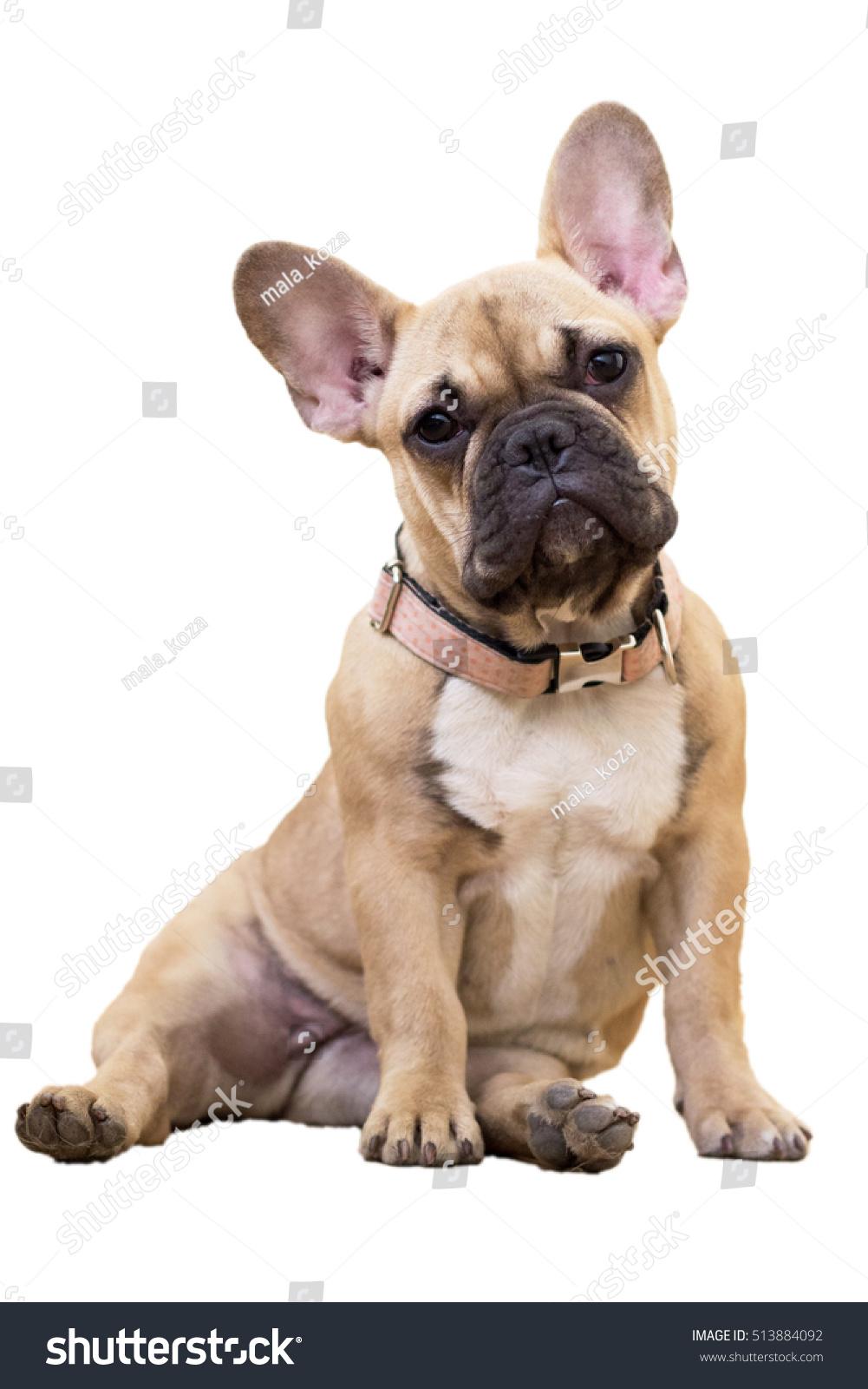 Fawn French Bulldog Puppy Sitting White Stock Photo Edit Now 513884092