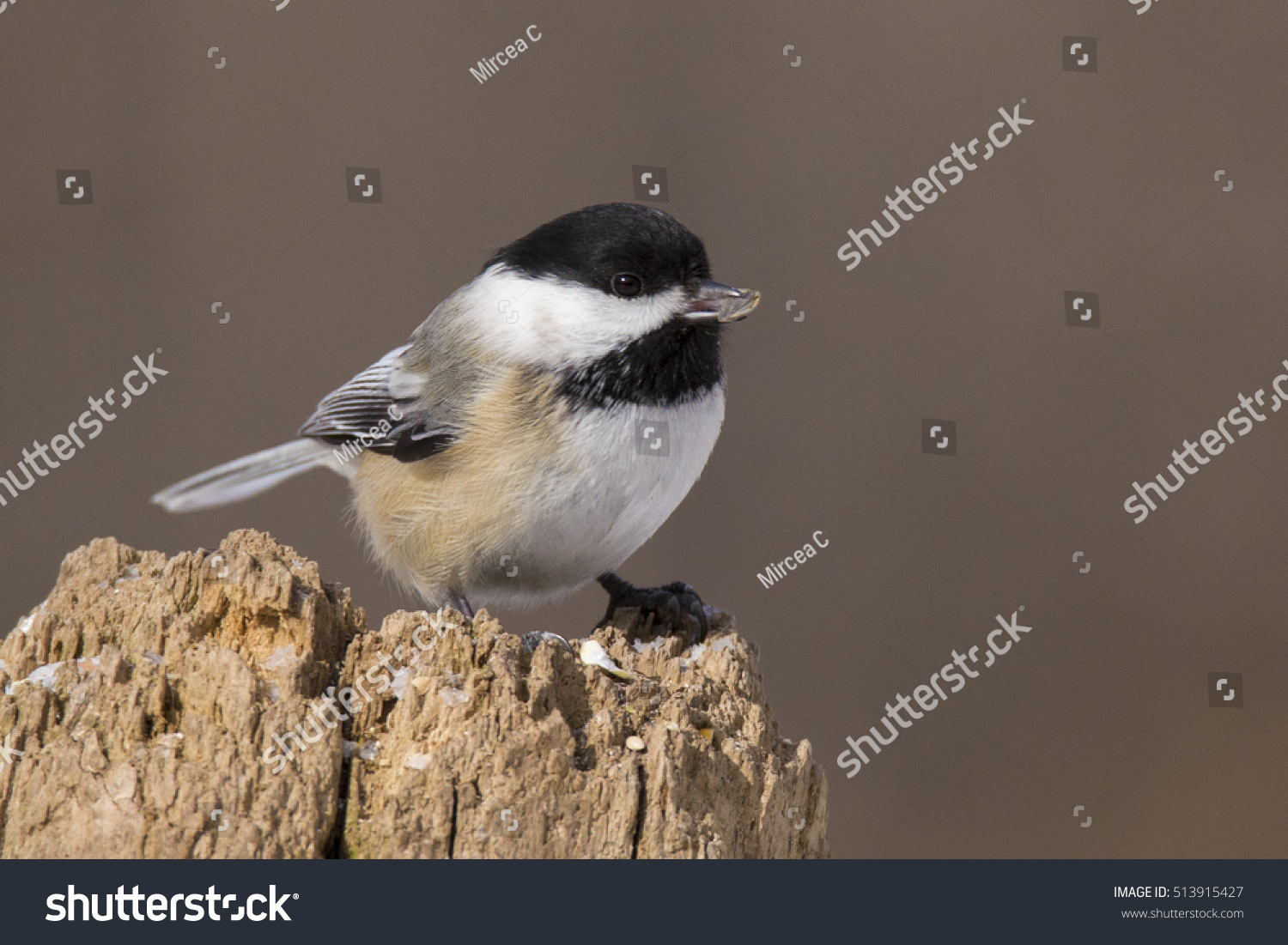 Black-capped Chickadee  #513915427