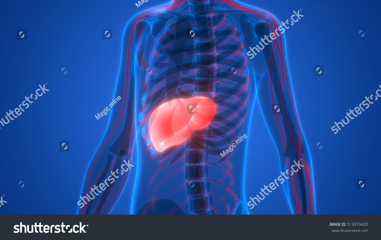 Human Body Organs Anatomy Liver 3 D Stock Illustration 513979420 ...