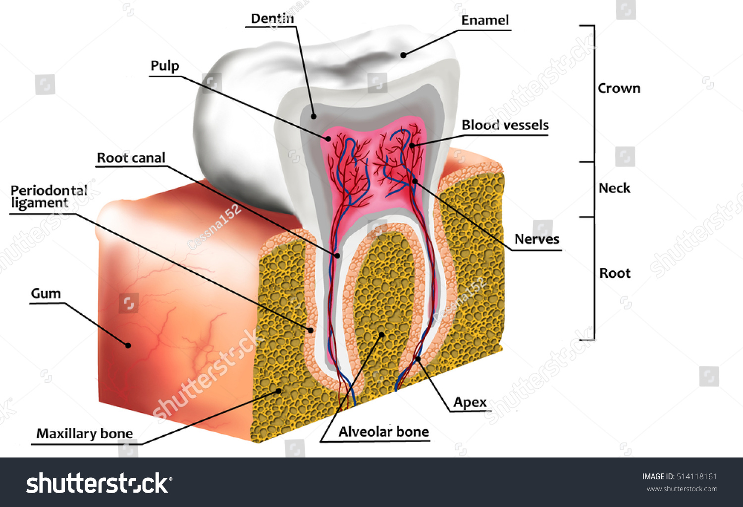 Human Tooth Anatomy Diagram Description Illustration Stock ...