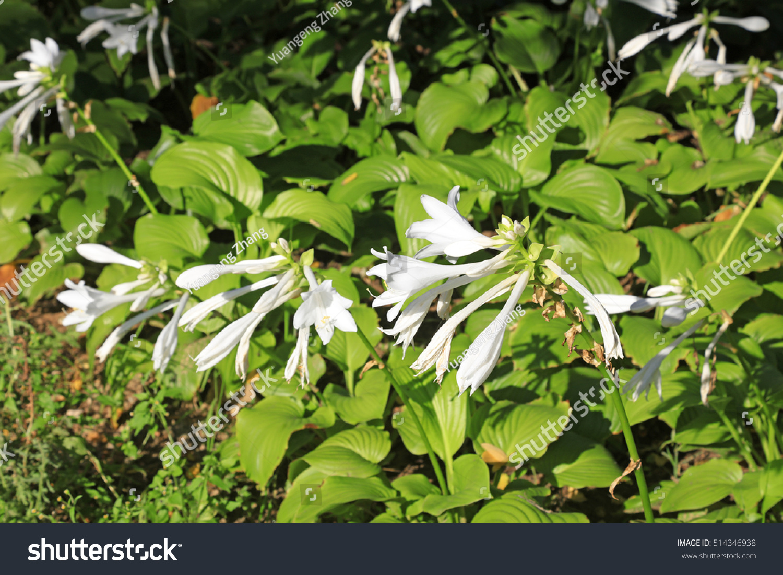 White fragrant plantain lily flowers ez canvas id 514346938 izmirmasajfo