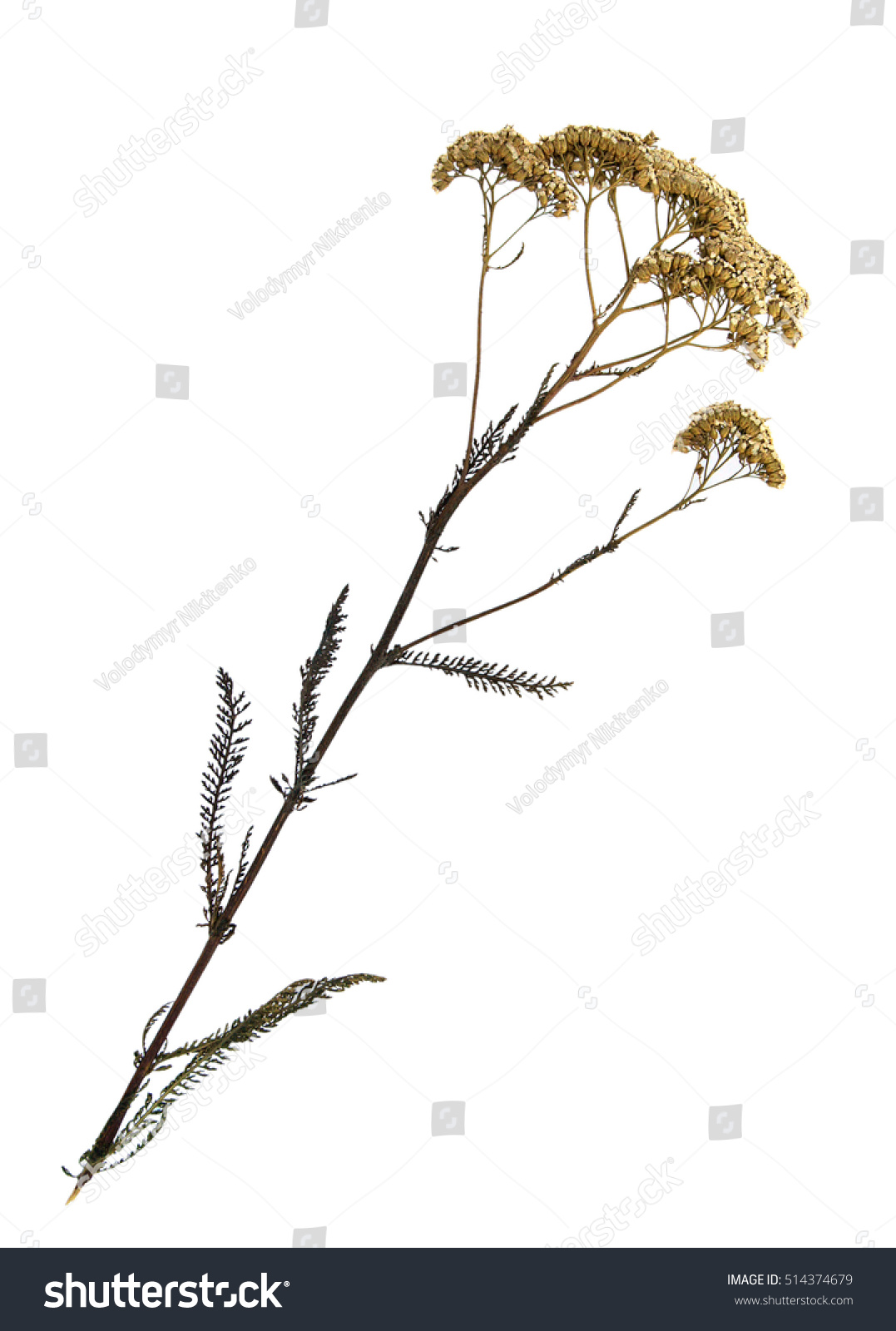 How to scrapbook dried flowers - Pressed And Dried Flowers Of Common Yarrow Achillea Millefolium On Stem With Leaves Isolated