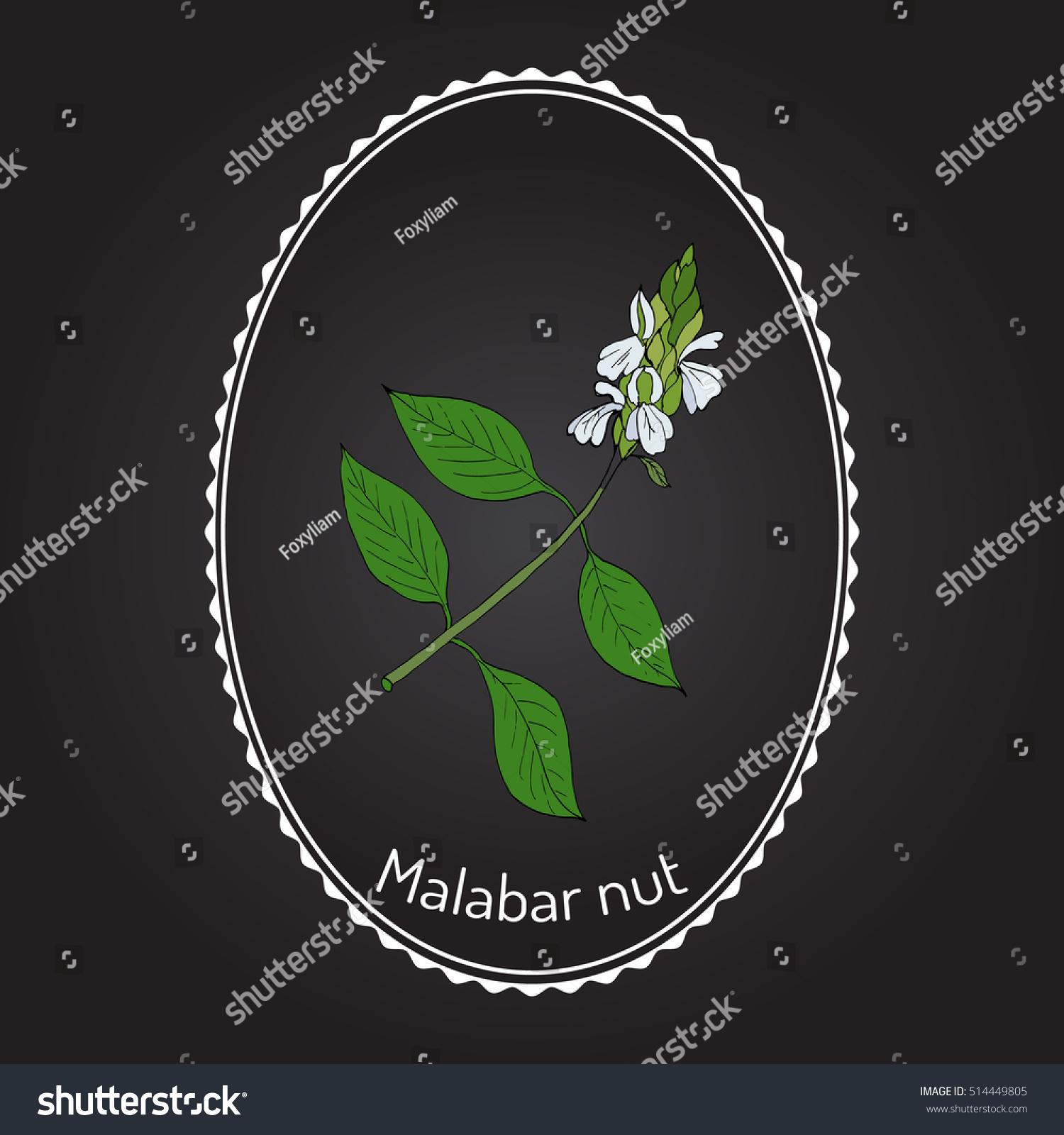 Malabar Nut Justicia Adhatoda Adulsa Adhatoda Stock Vector (Royalty