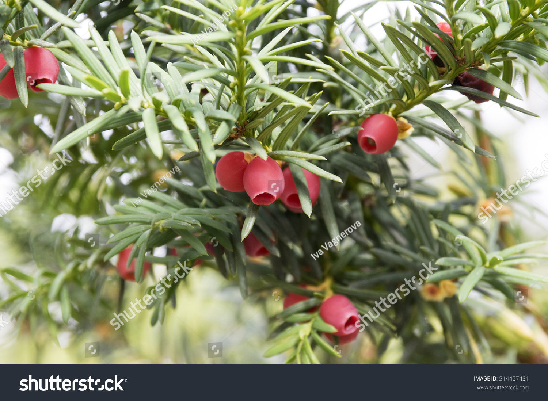 taxus baccata english yew european yew stock photo edit now