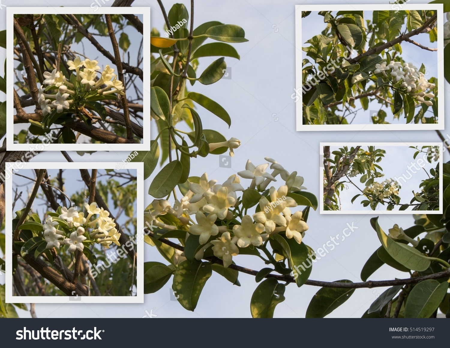 Beautiful Collage Stunning White Blooms Stephanotis Stock Photo