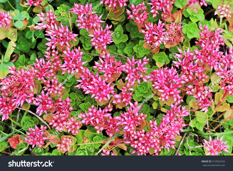Sedum False Purpurea Lat Sedum Spurium Stock Photo Edit Now