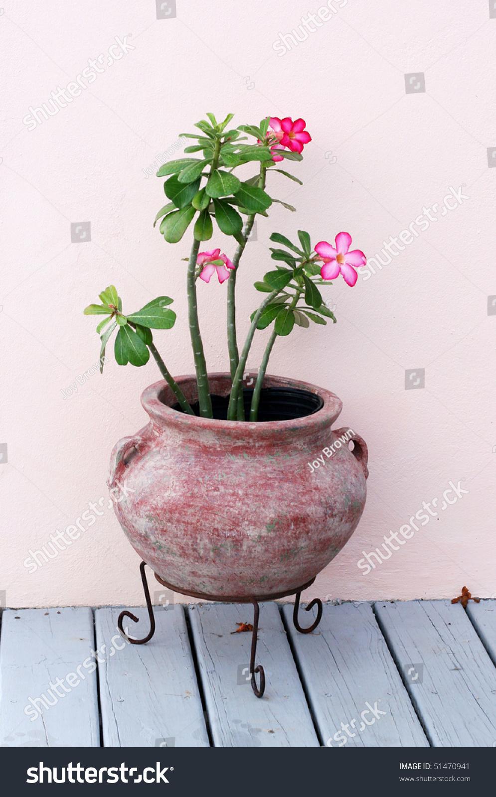 Desert Rose Plant Clay Pot On Stock Photo 51470941