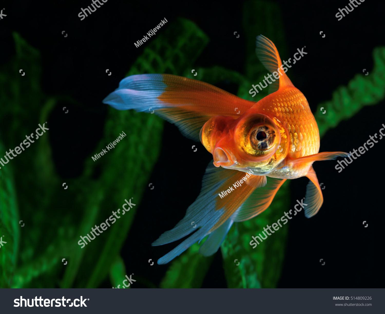 Goldfish Aquarium Fish On Background Aquatic Stock Photo (Edit Now ...