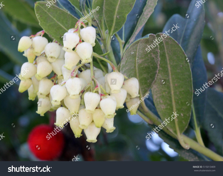Arbutus Unedo Strawberry Tree Small Evergreen Stock Photo Edit Now