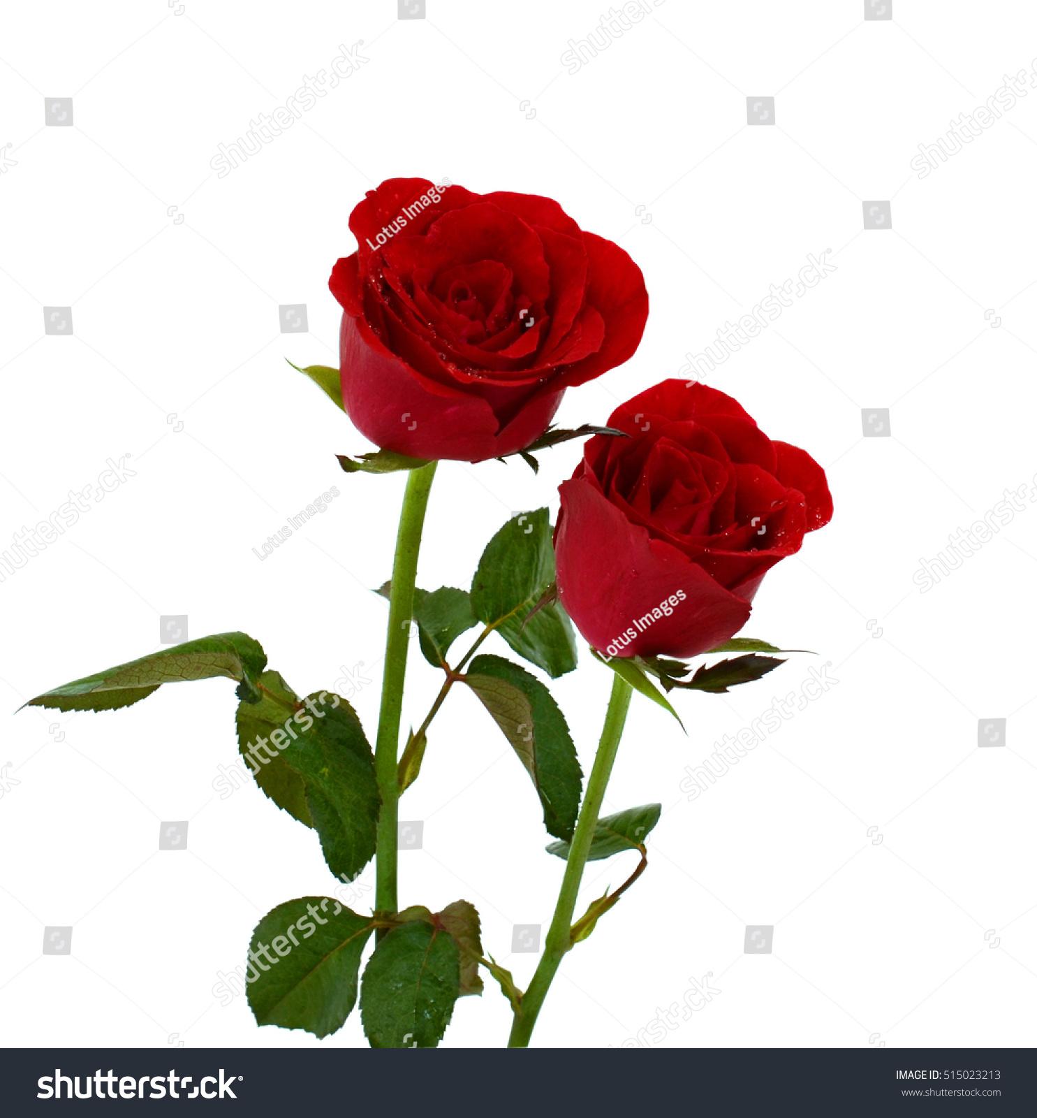 Rose Flower Red Lotus Gallery Fresh Lotus Flowers