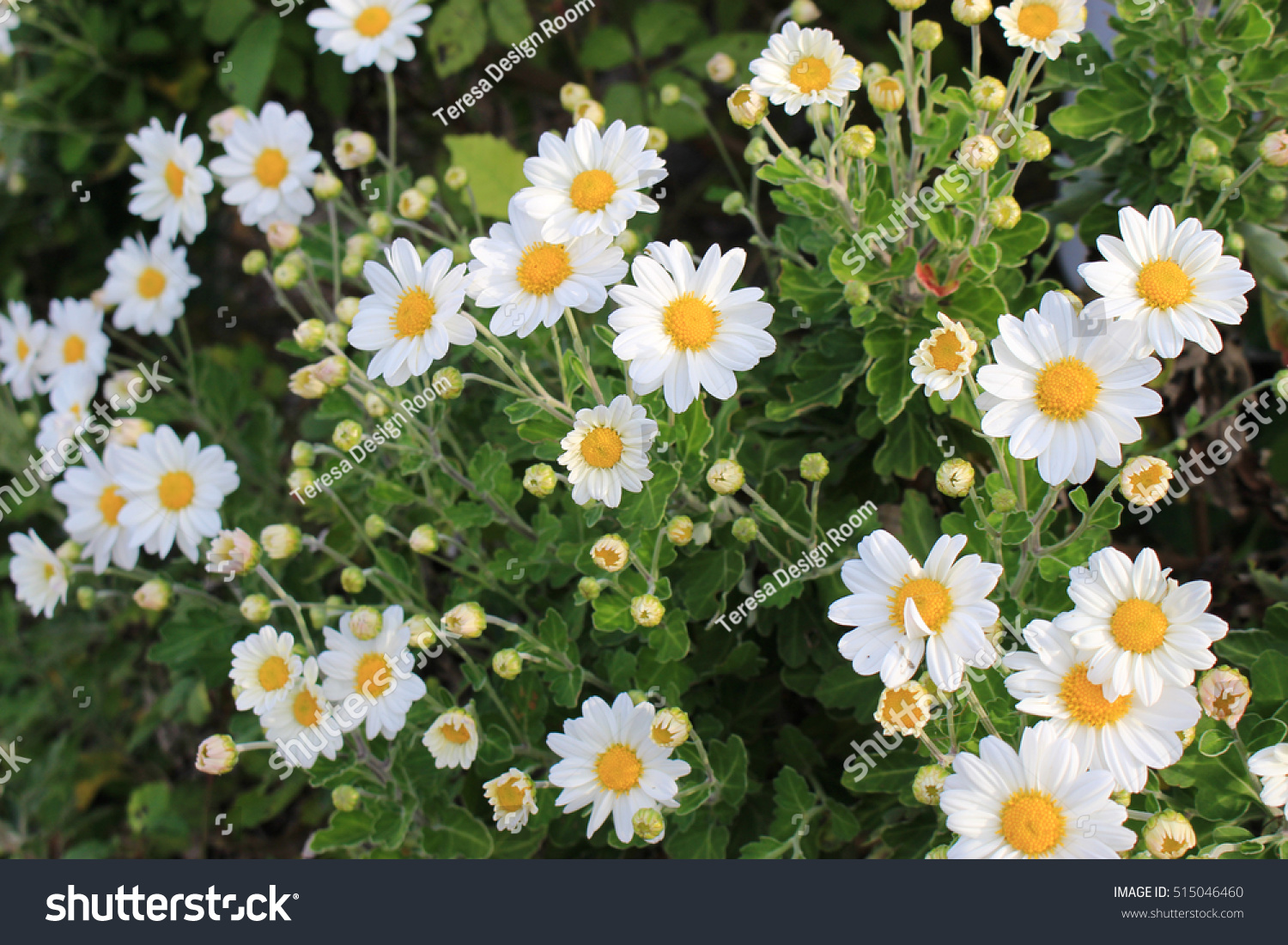 White little daisy flowers stock photo edit now 515046460 white little daisy flowers izmirmasajfo