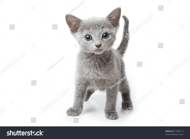 Russian Blue Kitten White Background Stock