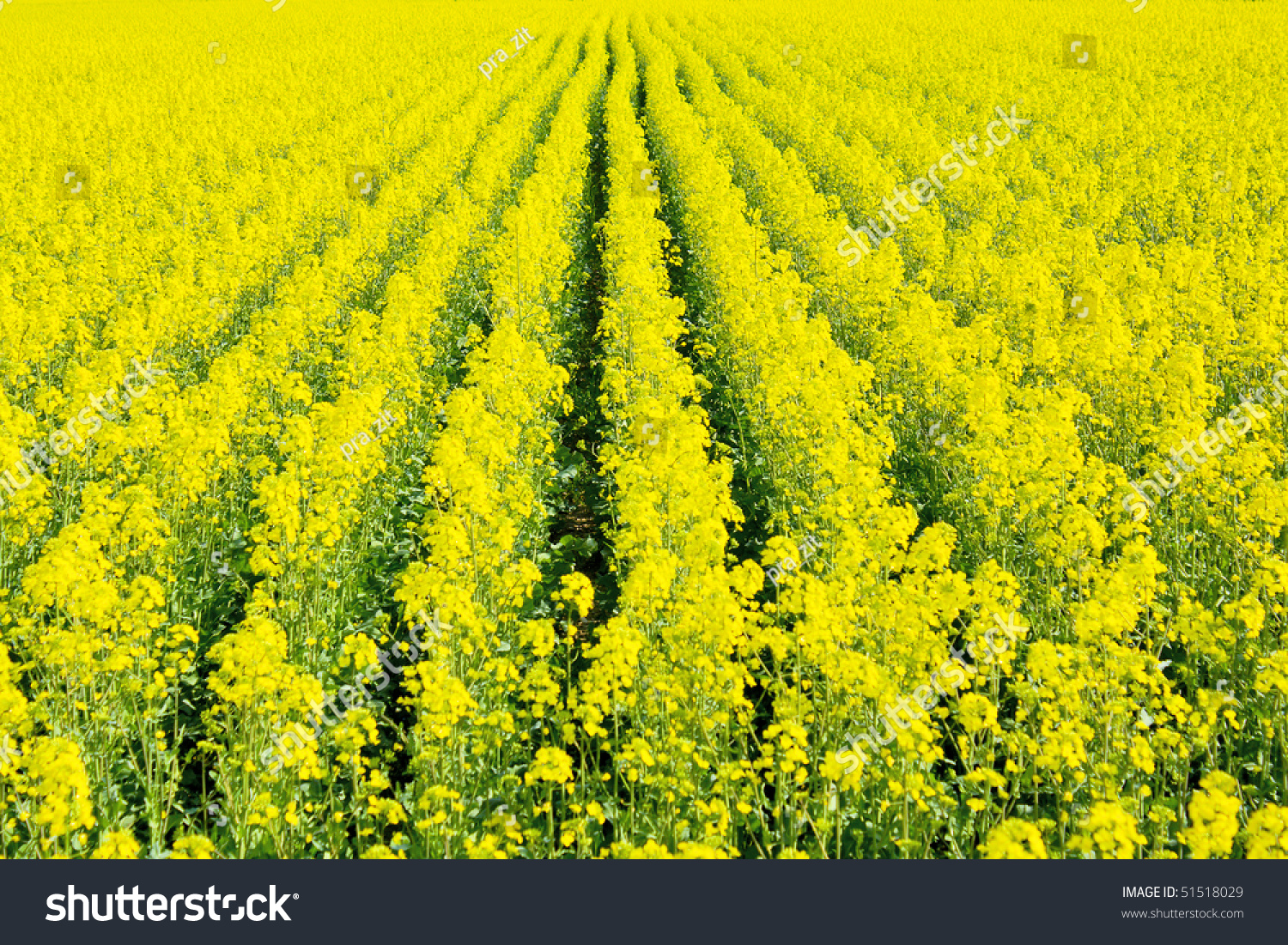 Beautiful Field Yellow Flowers Row Disposition Stock Photo Edit Now