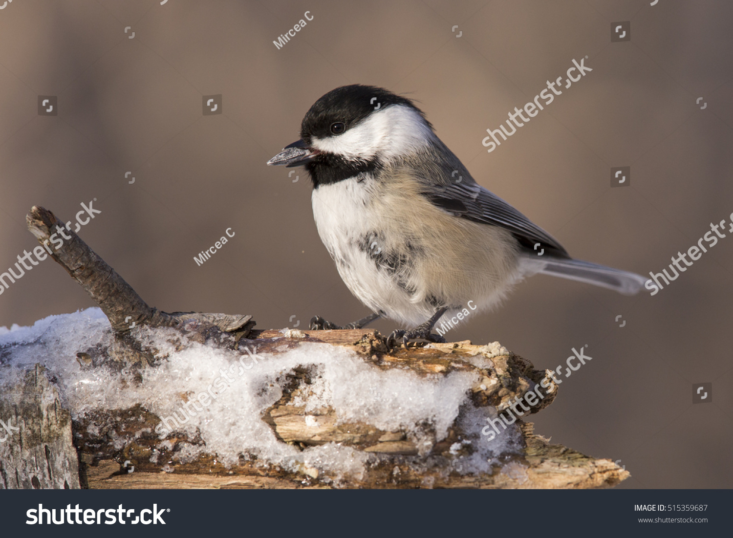 Black-capped Chickadee (Poecile atricapillus) in winter #515359687