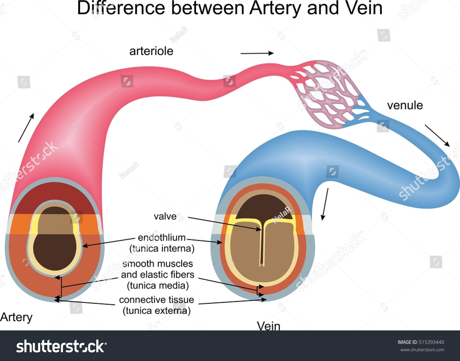 Difference Between Artery Vein Stock Vector Royalty Free 515393440