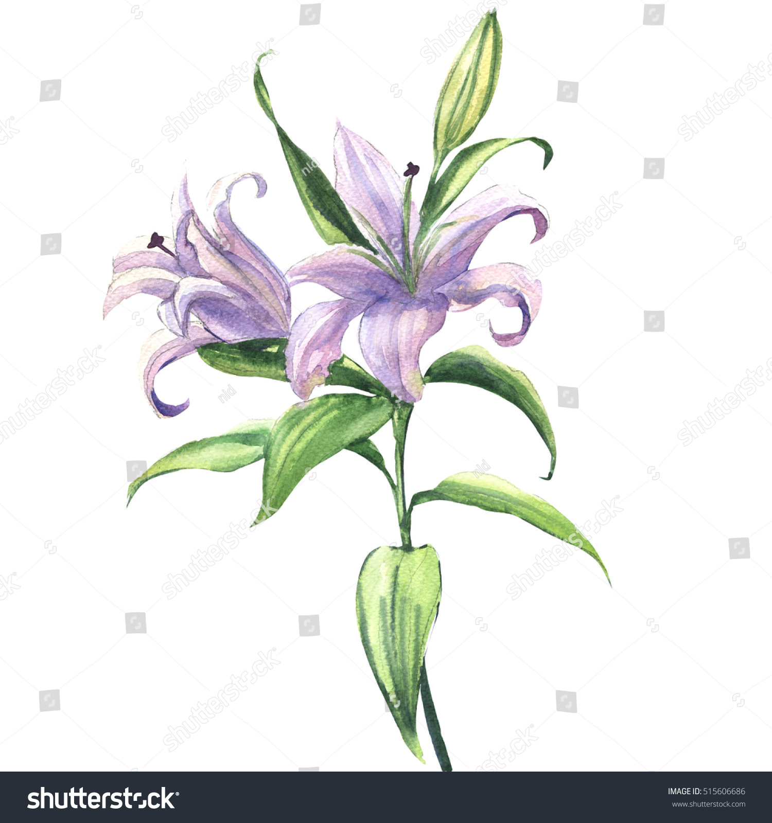 Blooming beautiful blue purple lily flower stock illustration blooming beautiful blue or purple lily flower isolated watercolor illustration izmirmasajfo