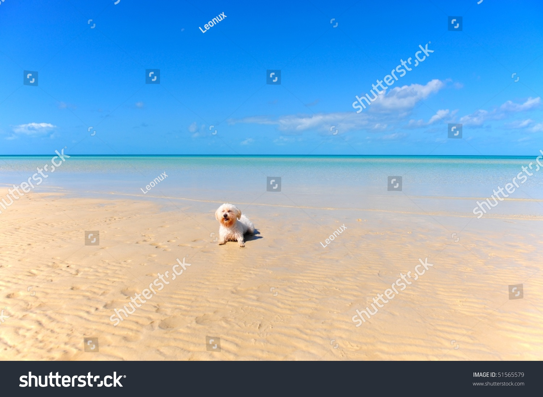 Maltese Bichon In The Pink Sand Beach Caribbean Island Eleuthera Bahamas