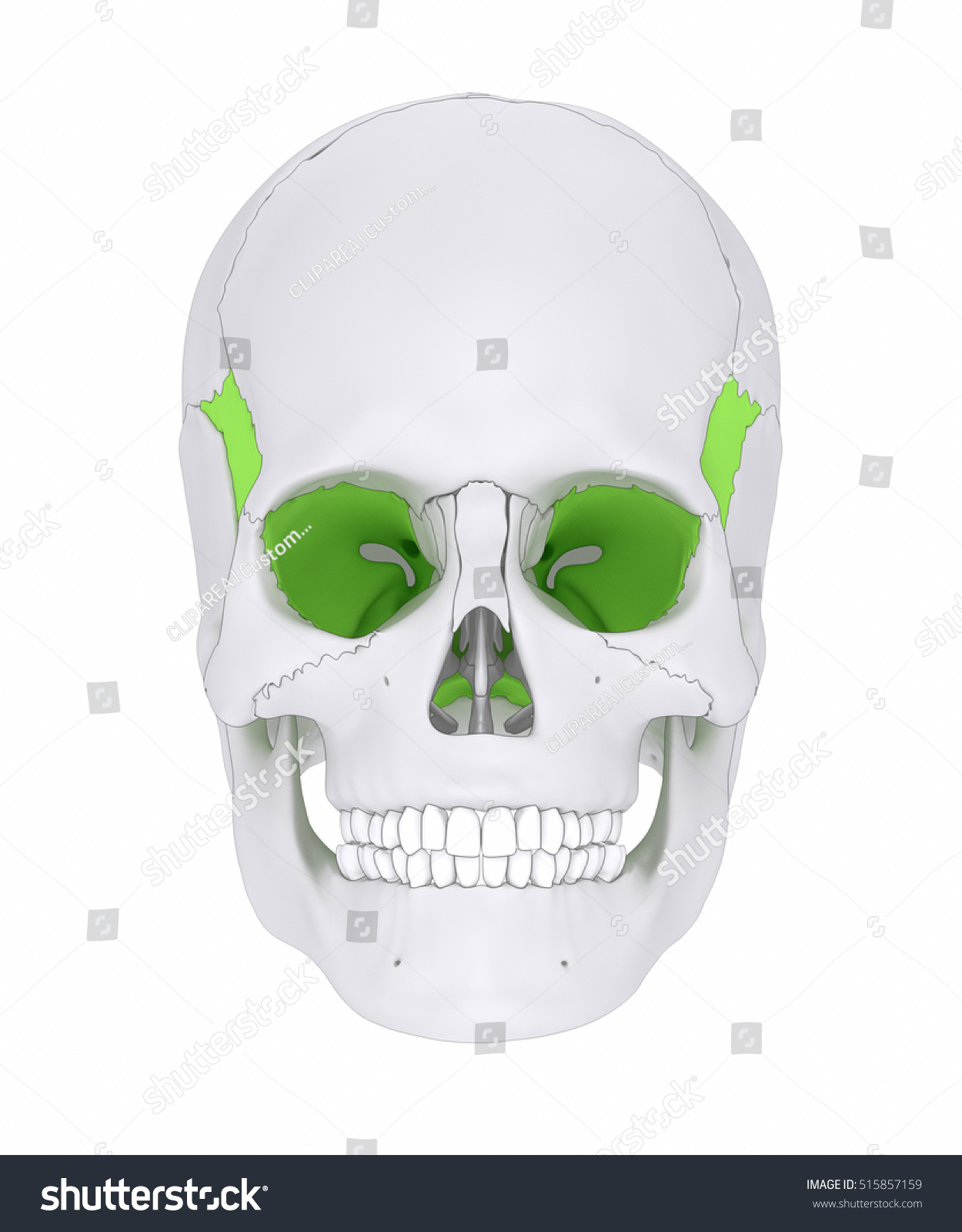 Sphenoid Bone Os Sphenoidale 3 D Illustration Stock Illustration ...