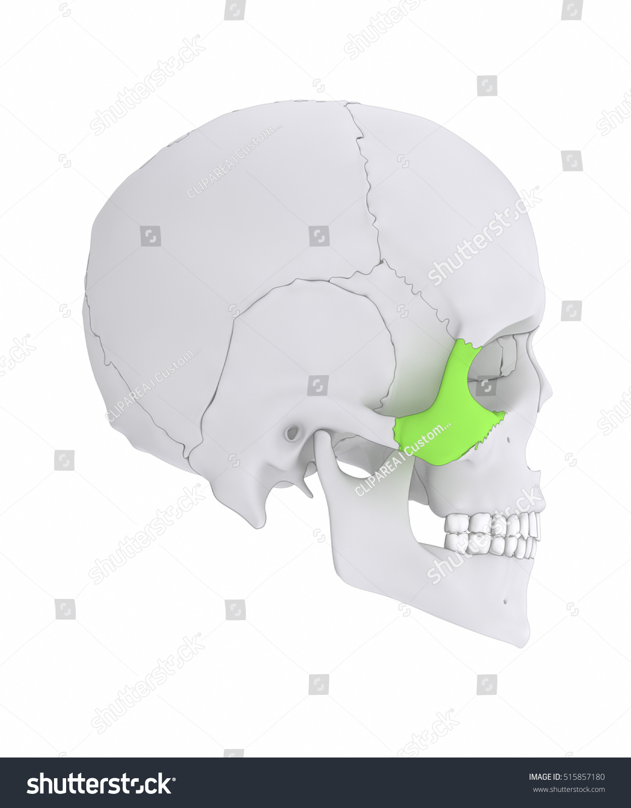 Zygomatic Bone Os Zygomaticum Lateral View Stock Illustration