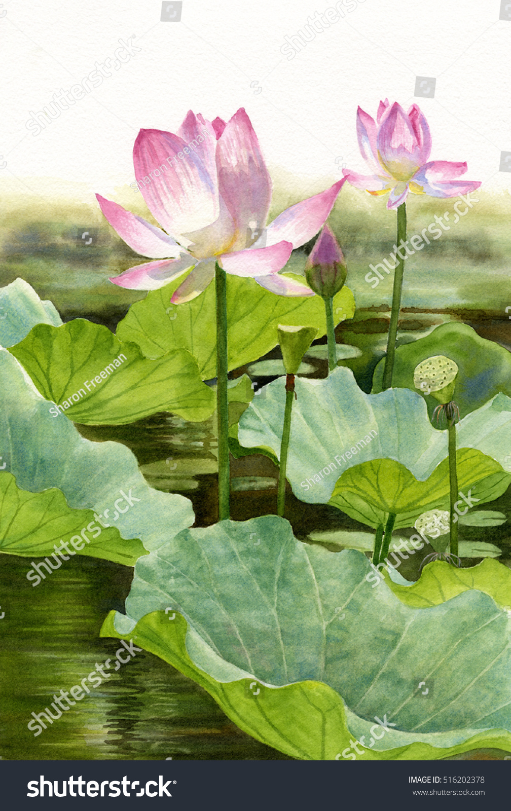 Two Pink Lotus Blossoms Watercolor Illustration Stock Illustration