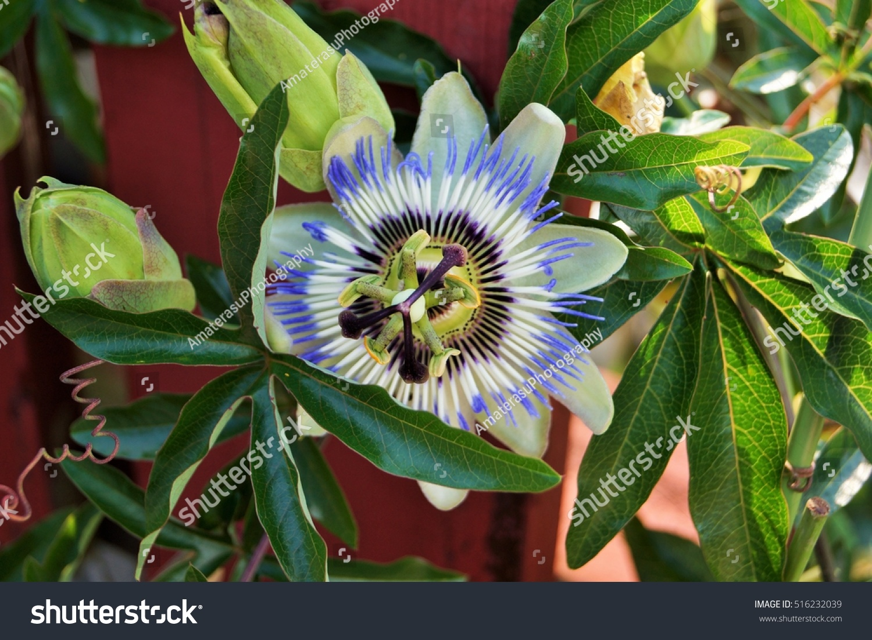 Passiflora Caerulea Flower Called Blue Passionflower Stock Photo
