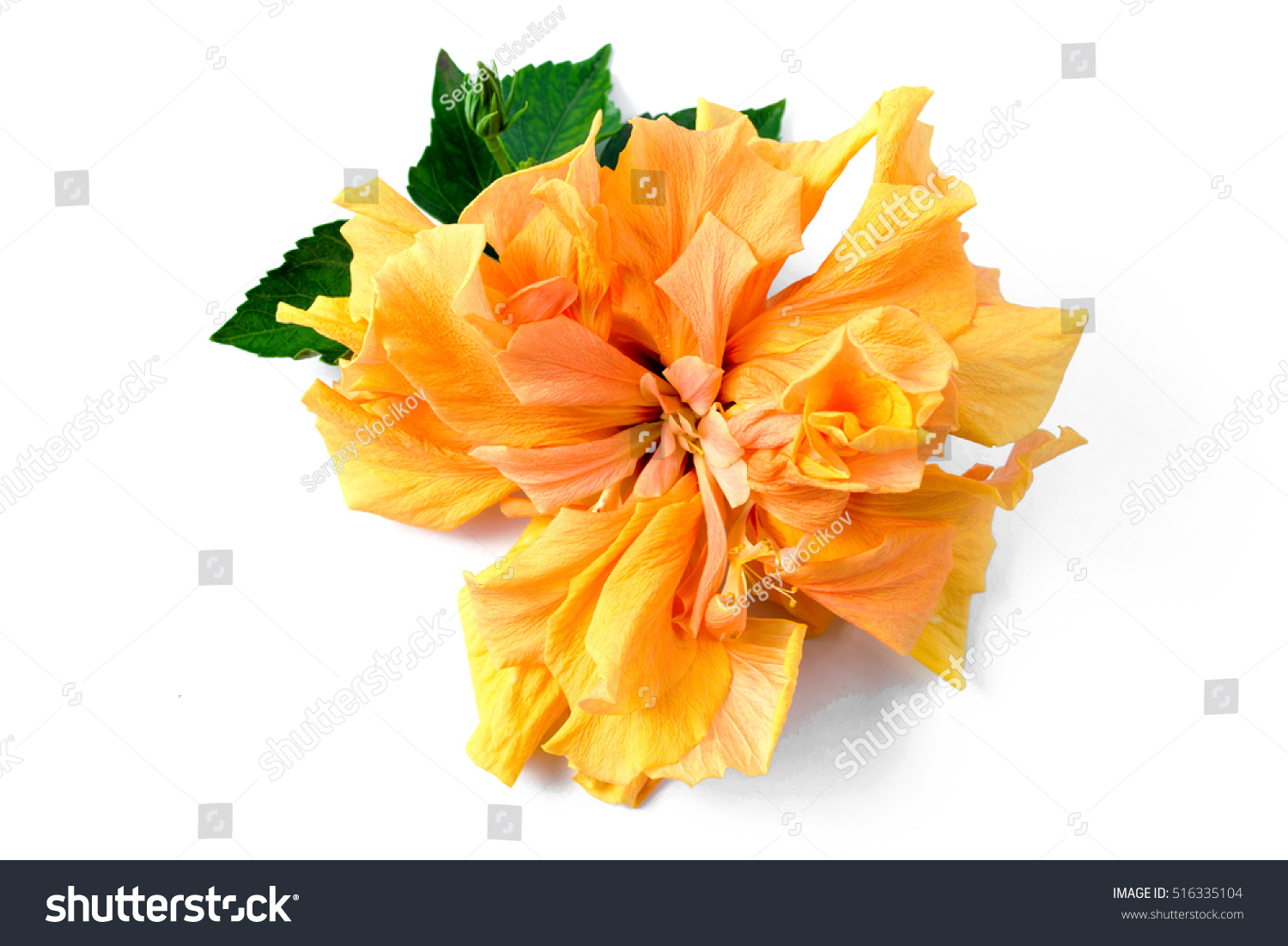 Hibiscus Yellow Flower Tropical Drawing Flowers Stock Photo Edit