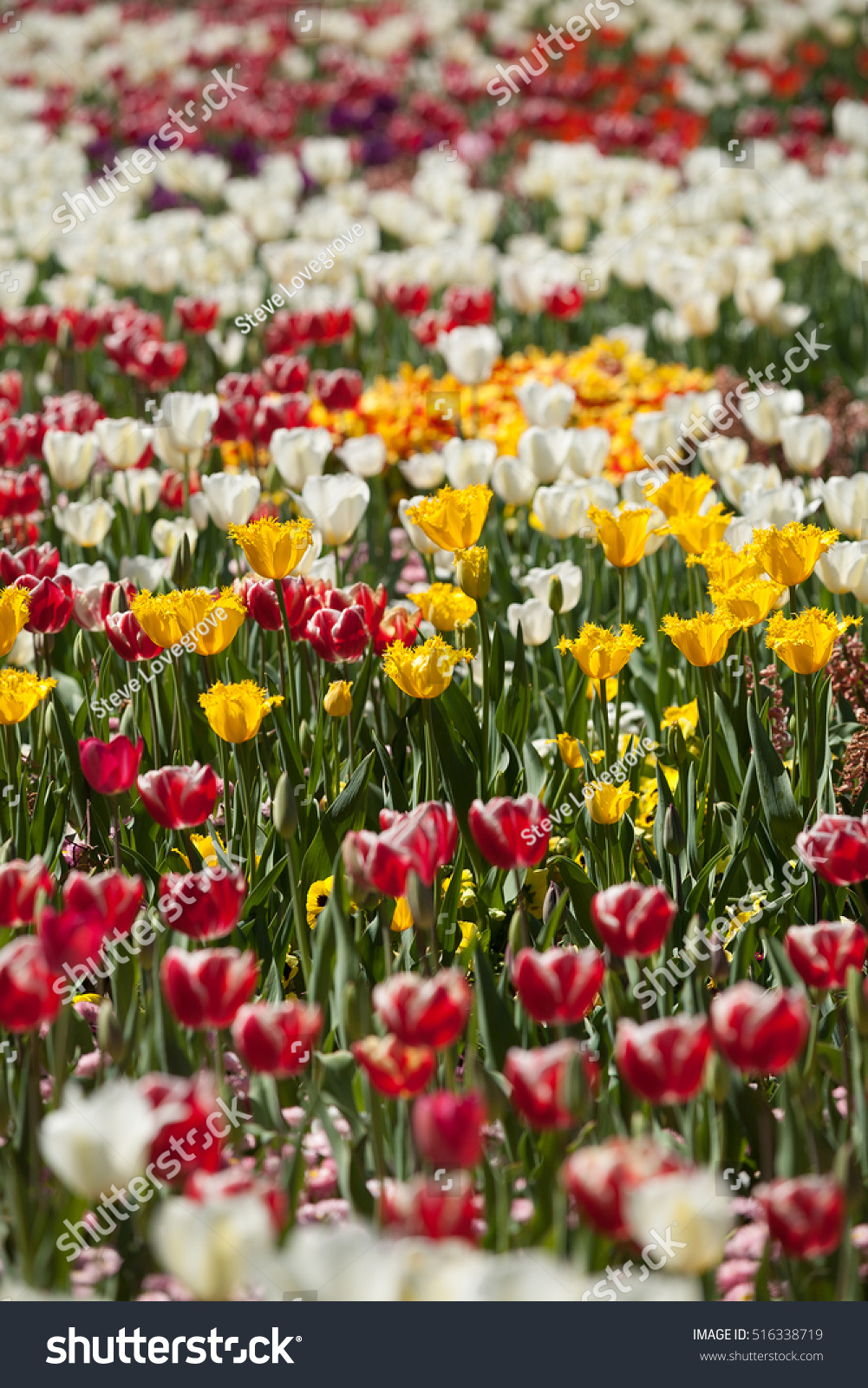 Tulip Flowers Full Bloom Annual Flower Stock Photo Royalty Free