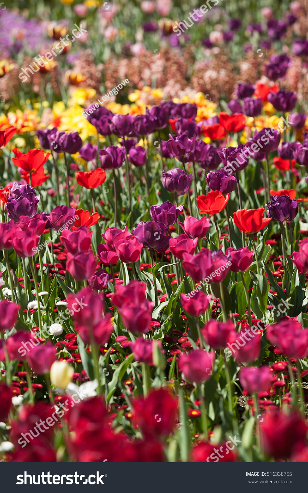 Blooming Colorful Tulips And Other Flowers Background Selective