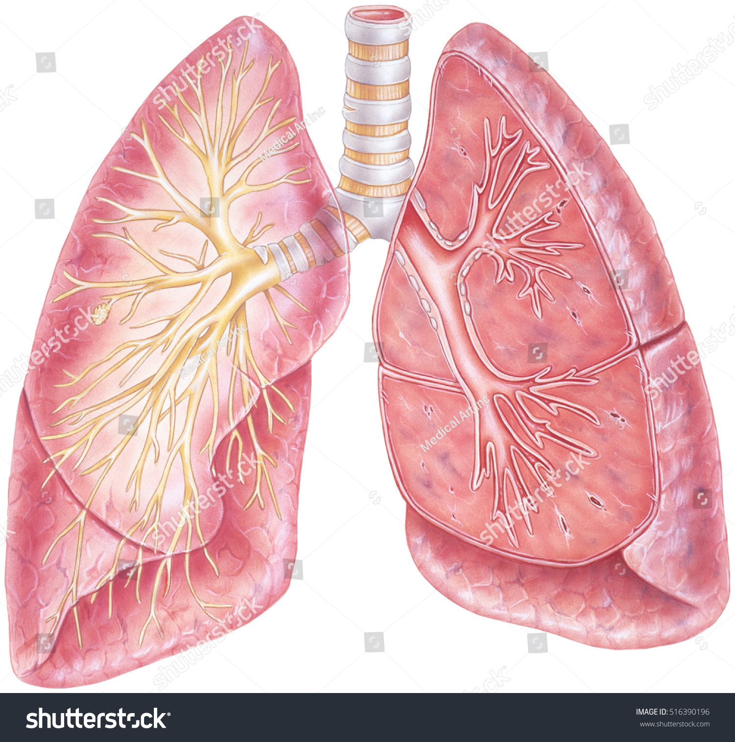 Lungs Cutaway View Human Lungs Showing Stock Illustration ...
