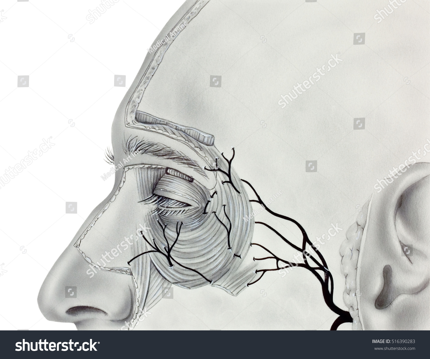 Muscles Nerves Near Human Eye Showing Stock Illustration 516390283 ...