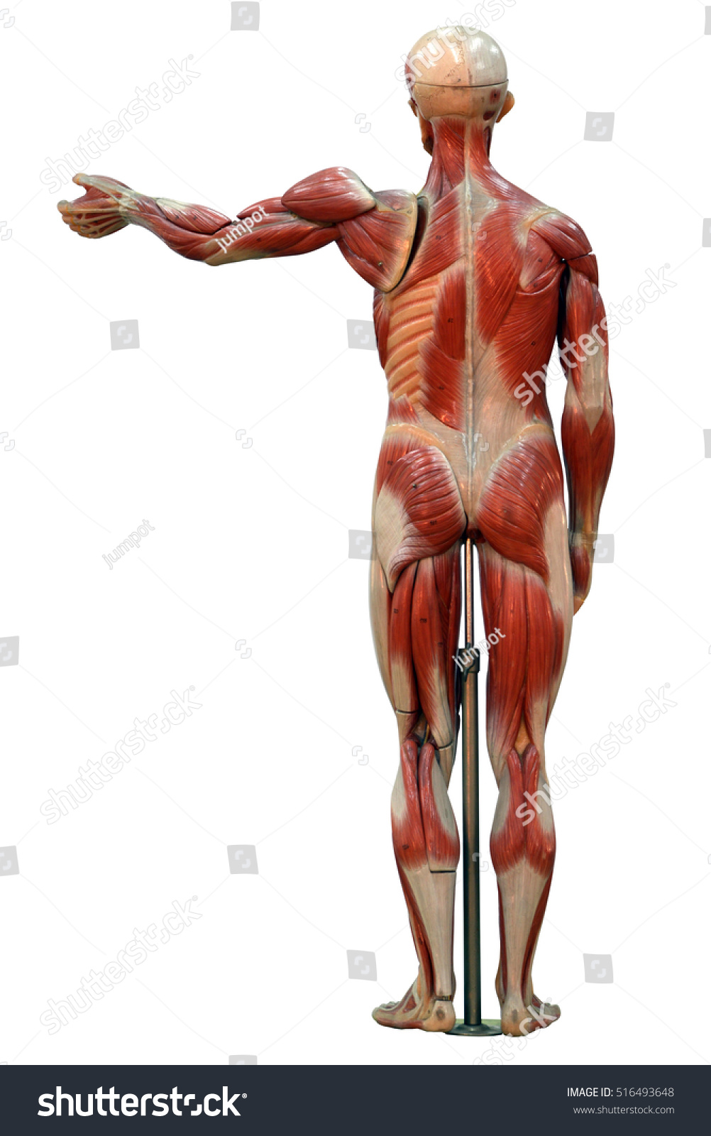 Anatomy Male Muscular System Posterior View Stock Photo Edit Now
