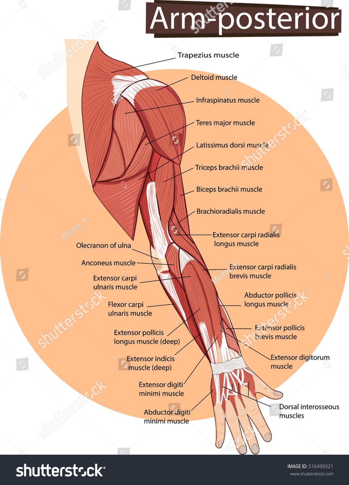 Vector Illustration Arm Anatomy Stock Vector (Royalty Free ...