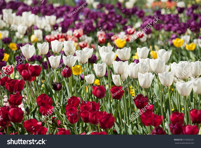 Tulip Flowers Full Bloom Annual Flower Stock Photo Edit Now