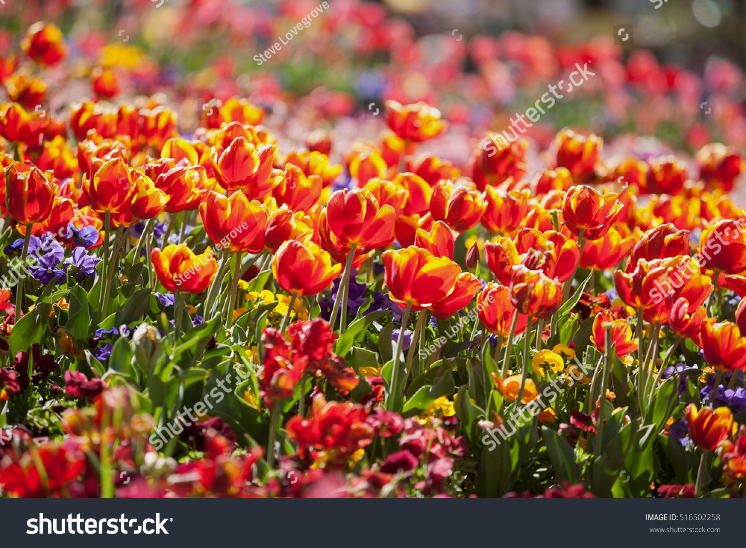 Tulip Flowers Full Bloom Annual Flower Stock Photo Edit Now
