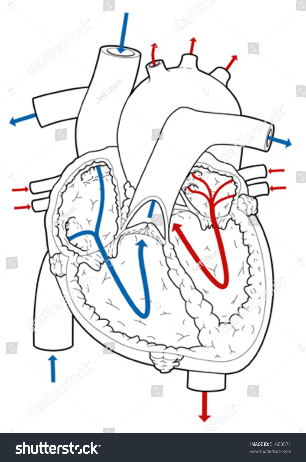 Cross Section Vector Illustration Of A Heart With Arrows ...