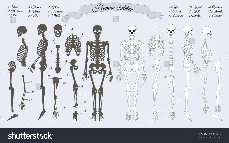 Vetor stock de human skeleton white black names peples livre de human skeleton white and black names of peples bones skull backbone ccuart Choice Image