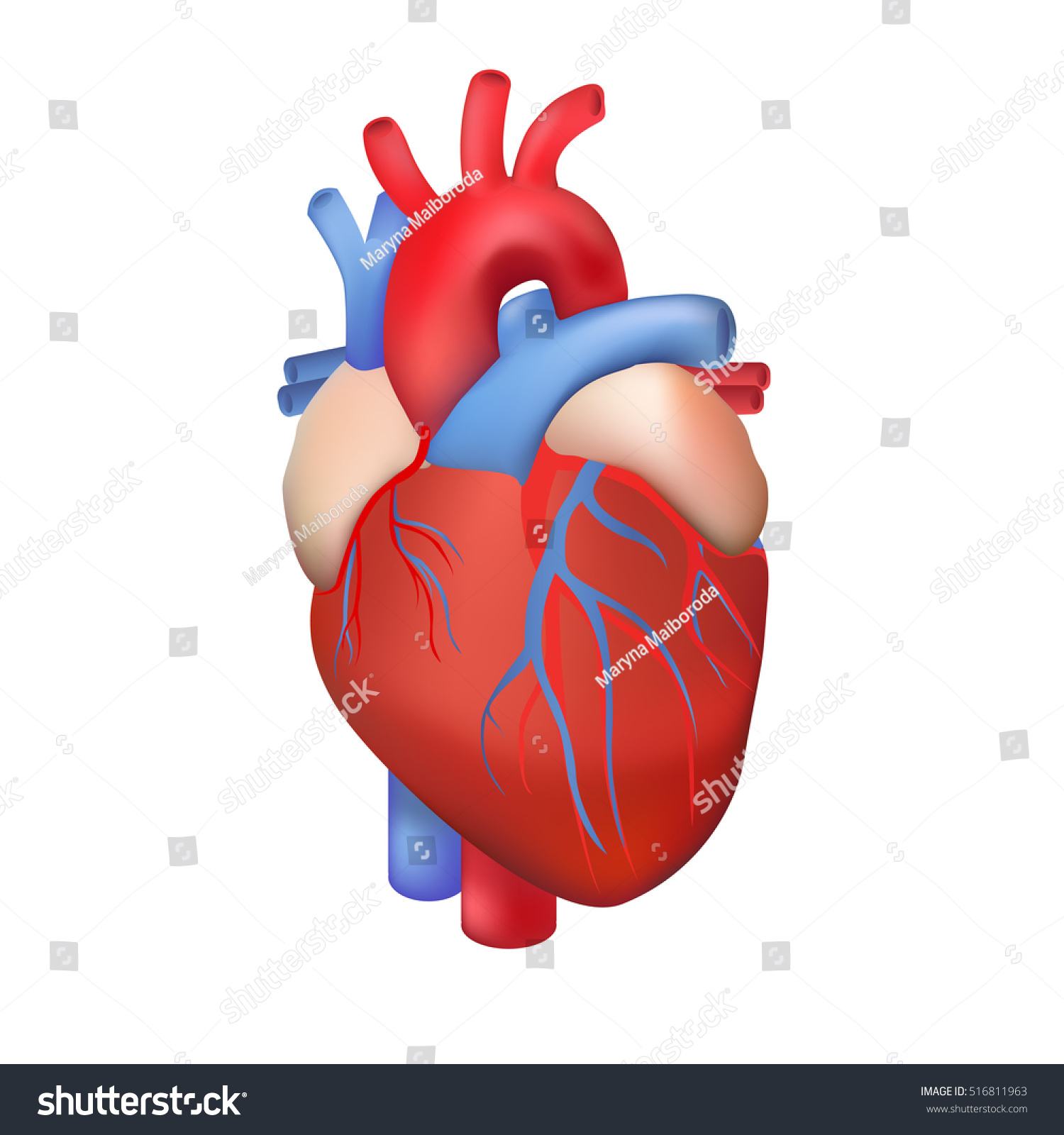 Vector Human Heart On White Background Stock Vector 516811963 ...