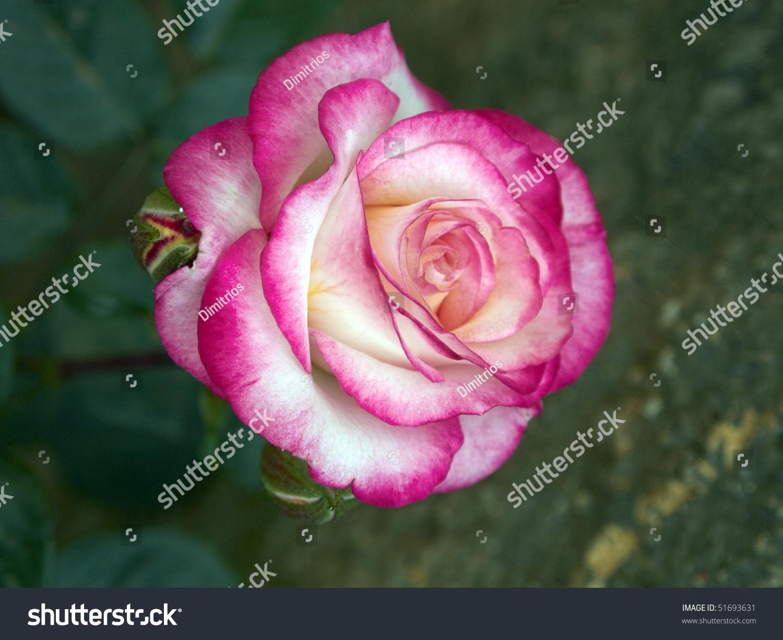роза фуксия