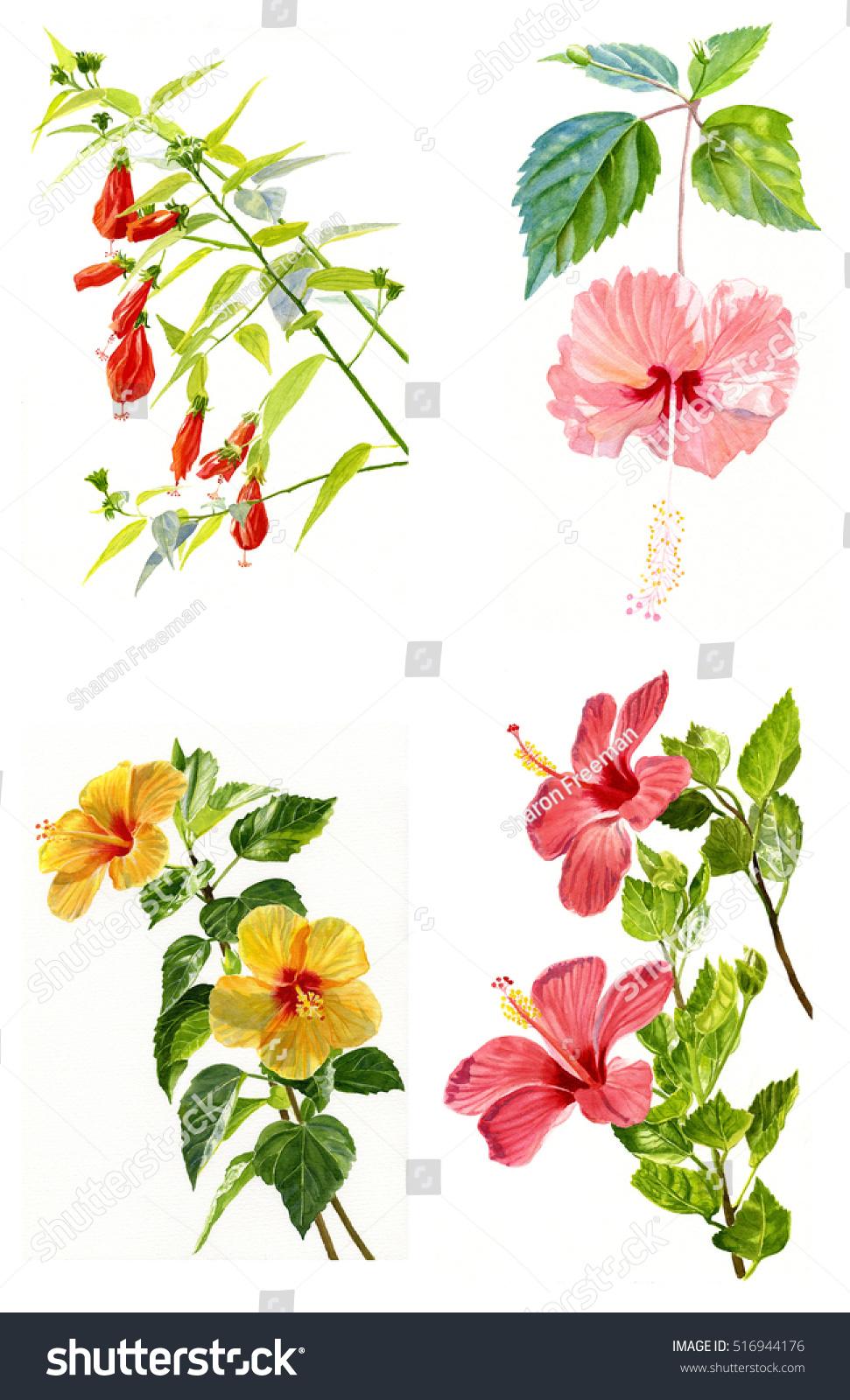 Four Hibiscus Flowers Poster Clip Art Stock Illustration 516944176