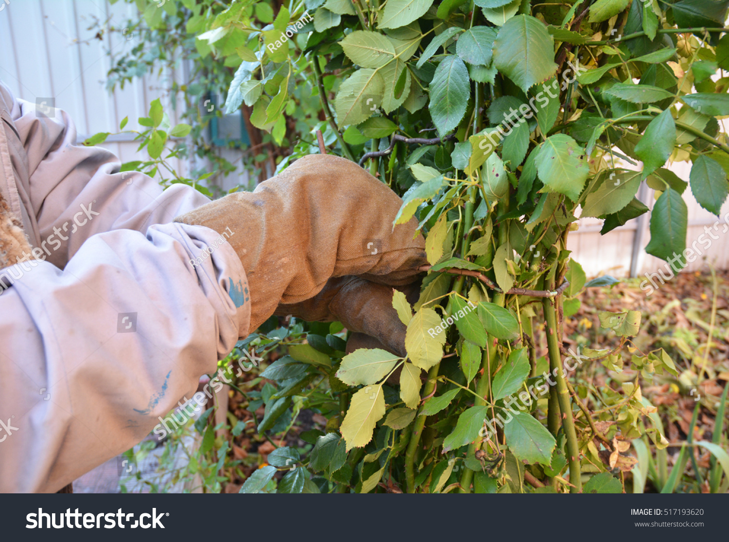 How to prune a rose bush - Mound And Tie Rose Bush Pruning Climbing Roses Shelter Roses For Winter