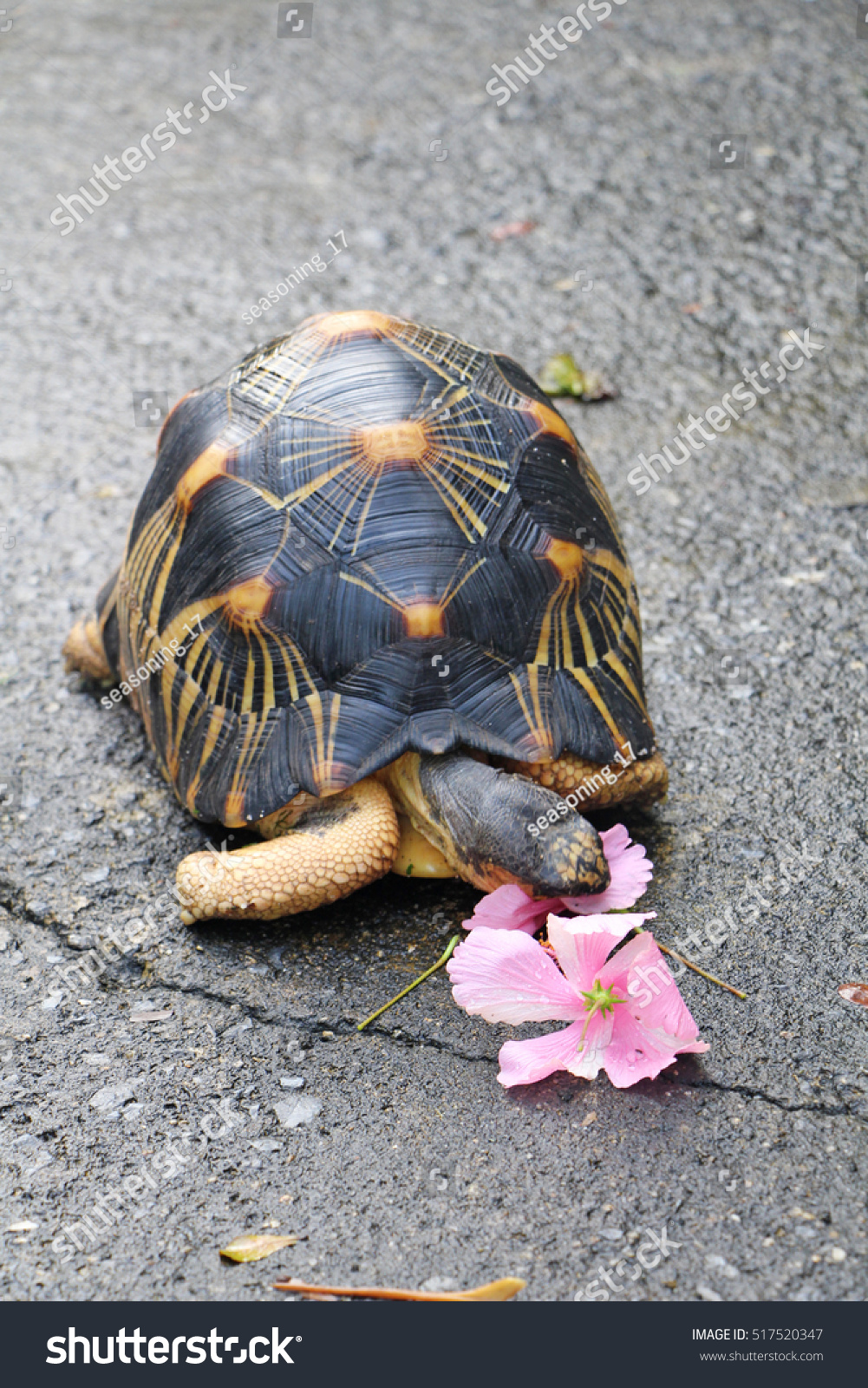 Radiated Tortoise Eating Hibiscus Stock Photo 517520347 Avopixcom