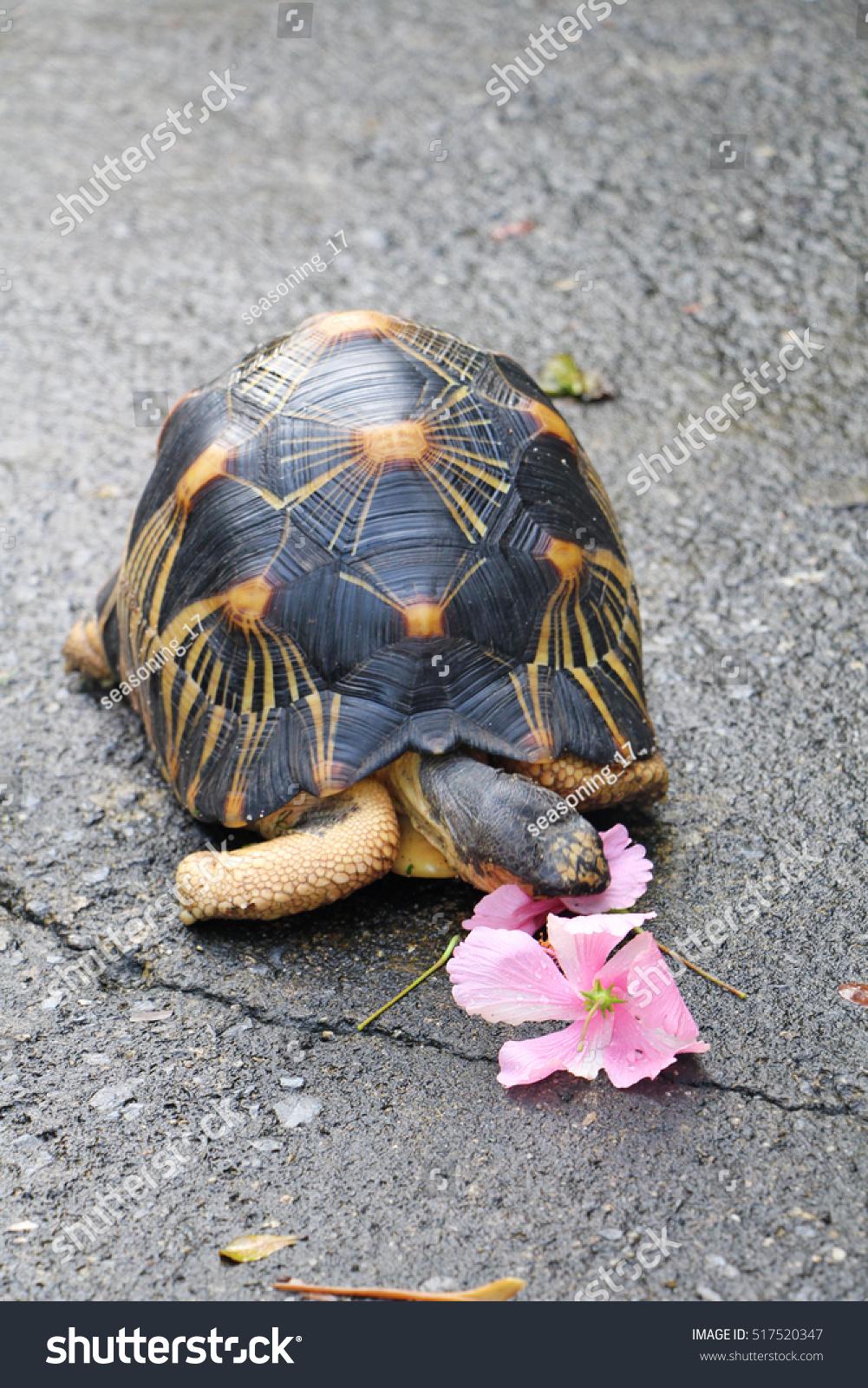 Radiated Tortoise Eating Hibiscus Flower Garden Stock Photo Royalty