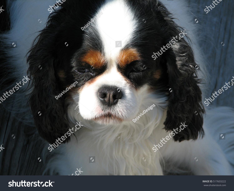 Adorable English Toy Spaniel Puppy Dog Stock Photo Edit Now 517603222