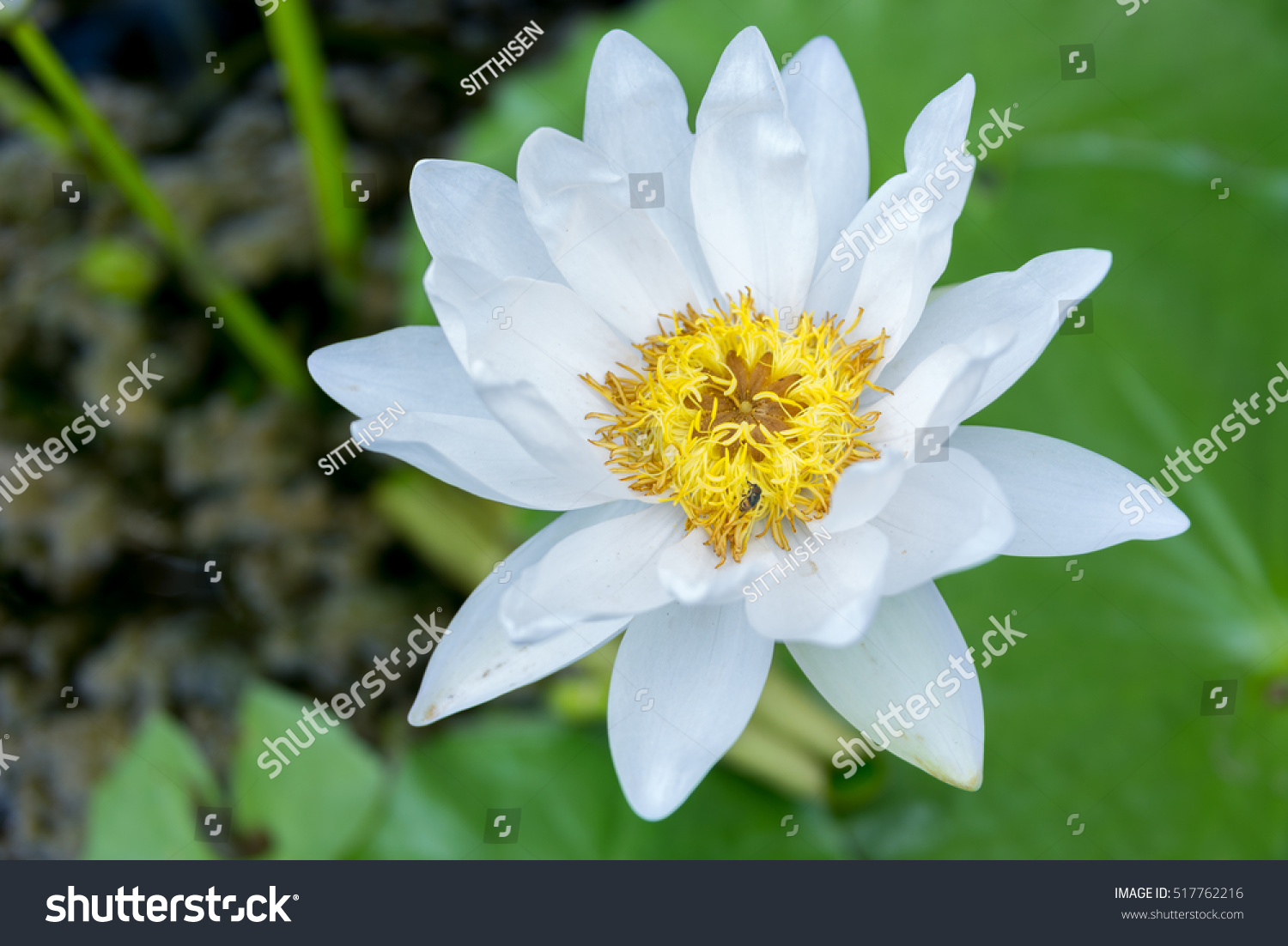 Top view a beautiful white lotus flower in pond ez canvas id 517762216 izmirmasajfo