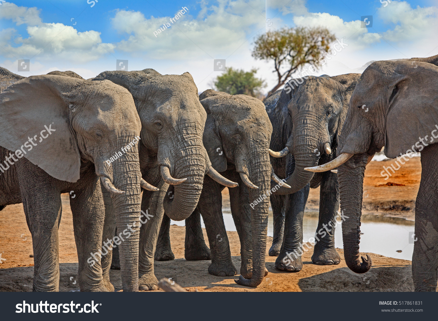 Six elephants standing lined semi circle stock photo 517861831 six elephants standing lined up in a semi circle which are all in the same biocorpaavc Images