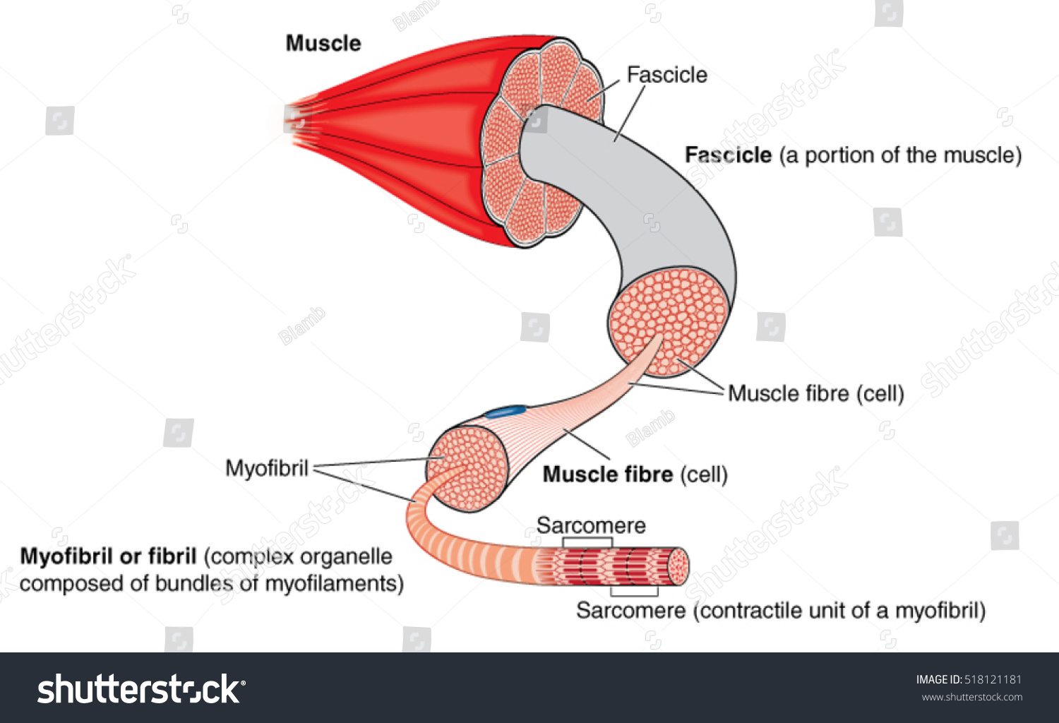 Anatomy Muscle Gross Structure Level Myofibril Stock Vector (Royalty ...