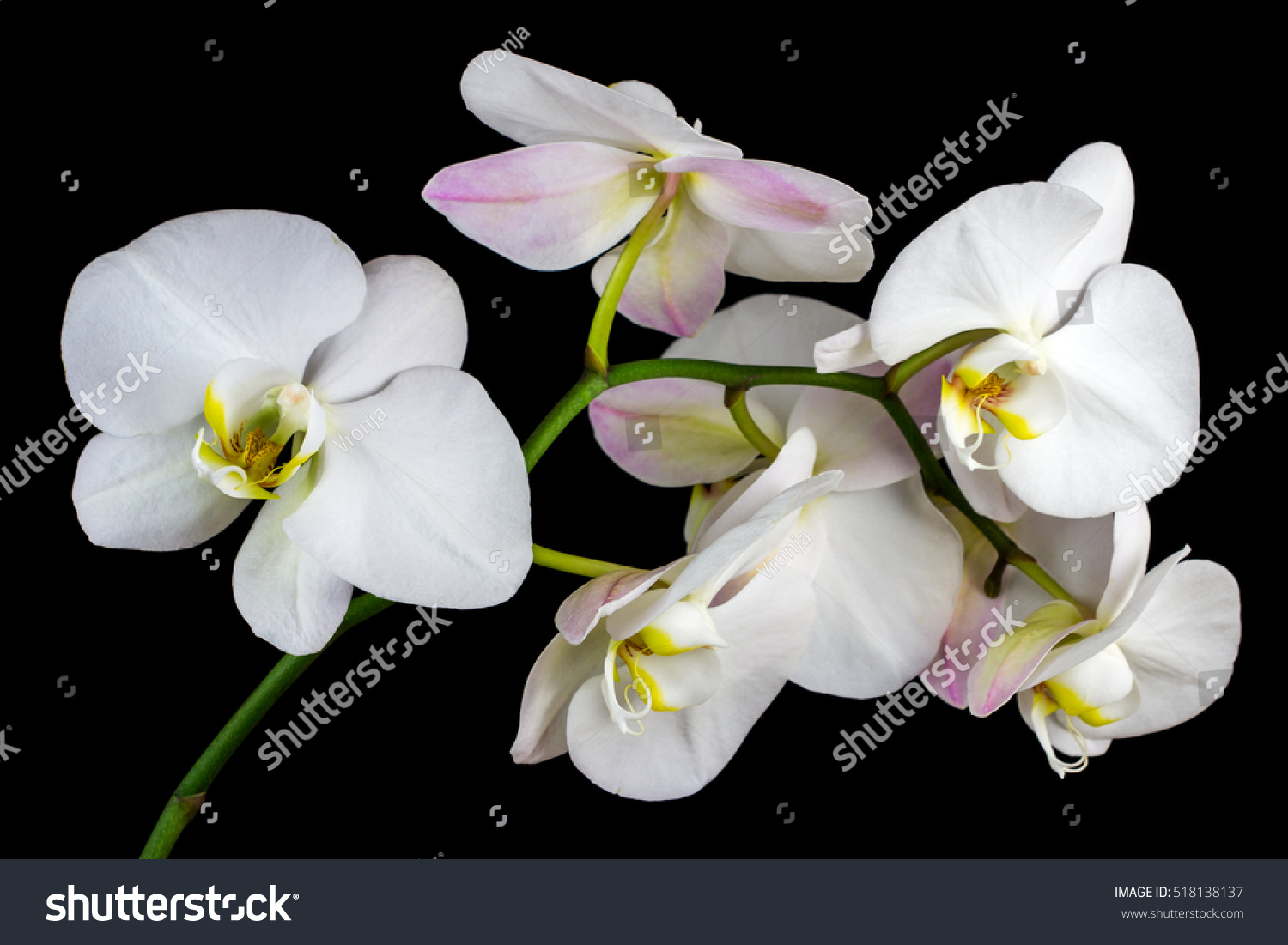 Closeup White Orchid Flower Zen Art Stock Photo Royalty Free