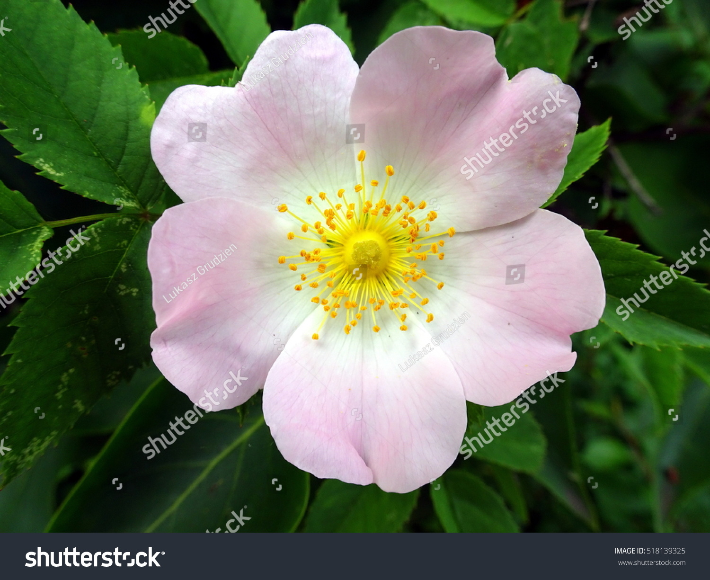 Hawthorn Crataegus Laevigata Pink Flower Yellow Stock Photo Edit