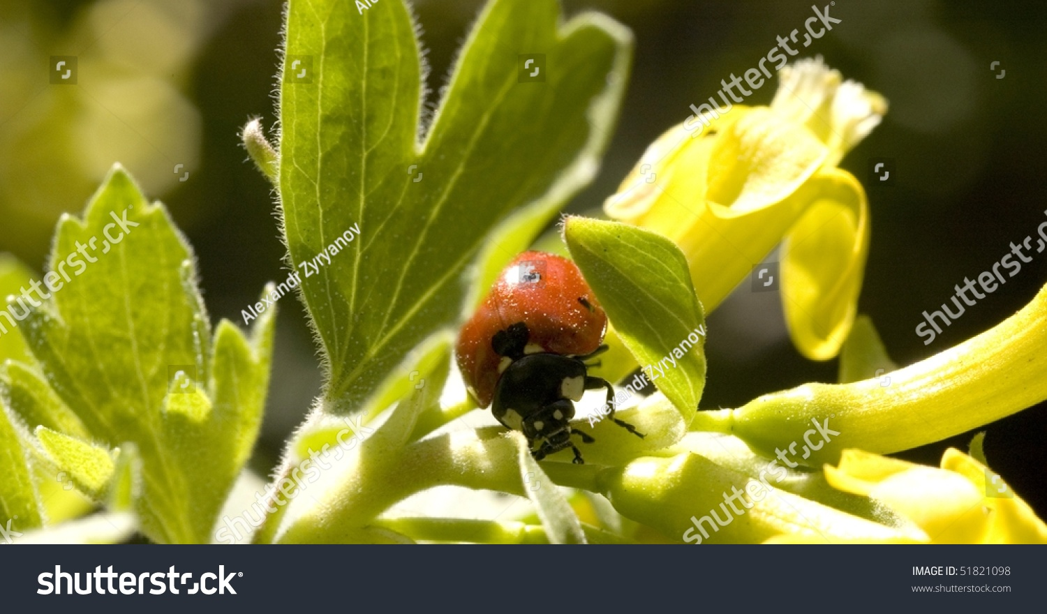 ladybird in green leaves closeup