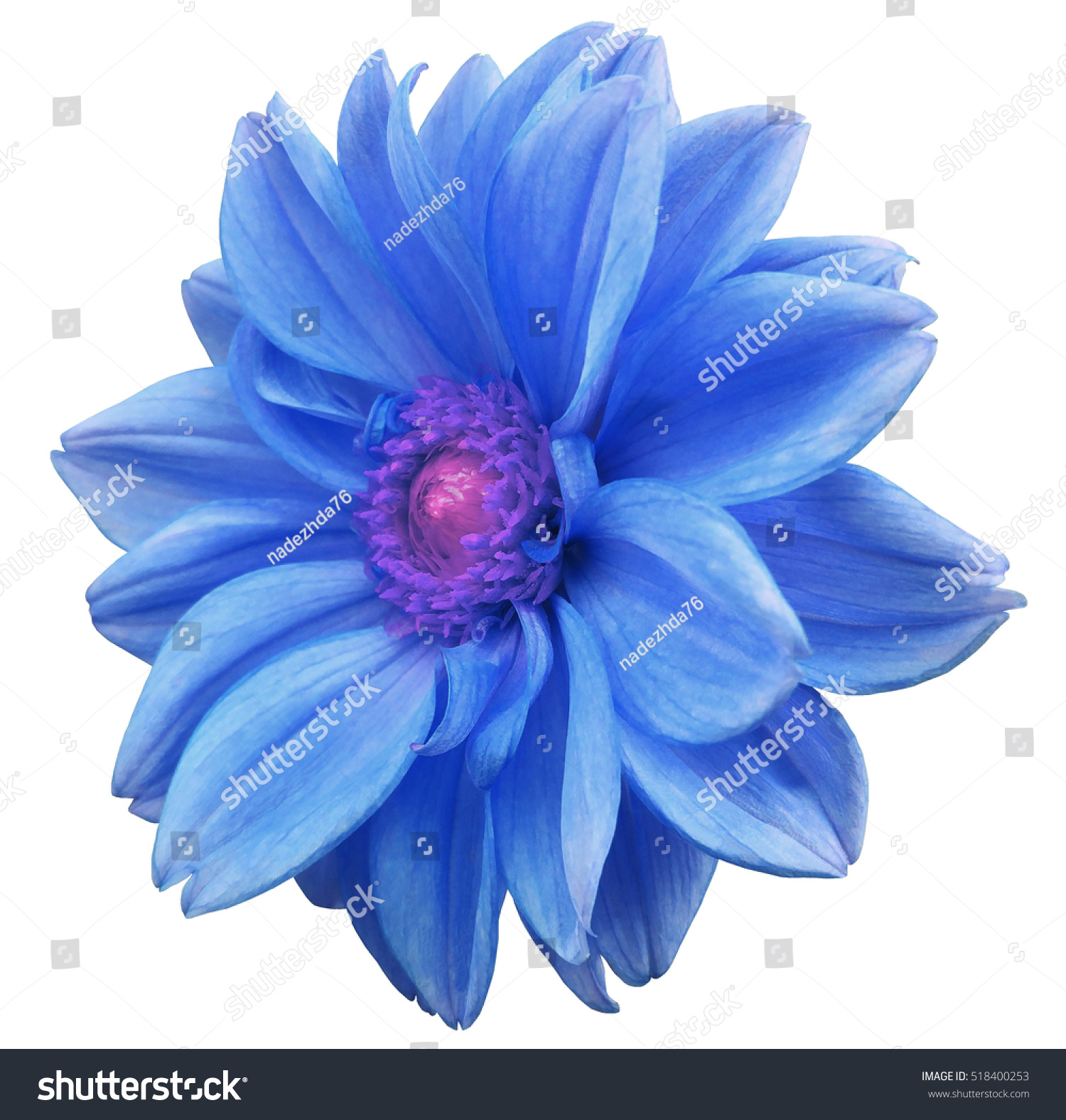 Blue flower dahlia white isolated background stock photo royalty blue flower dahlia white isolated background with clipping path closeup no shadows mightylinksfo